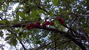 Плоды ткемали отличаются необычайно кислым вкусом, от которого сводит челюсти.