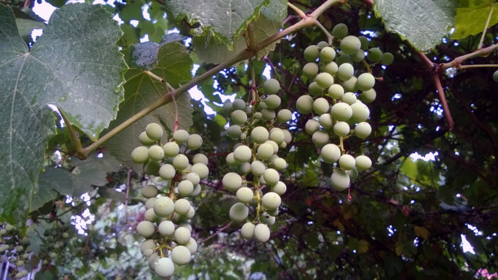 Рыхлые и щербатые, подернутые  матовым налетом, кисти стали наливаться летним зноем и расти.