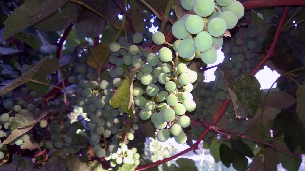 Жил-был один виноград о пяти лозах