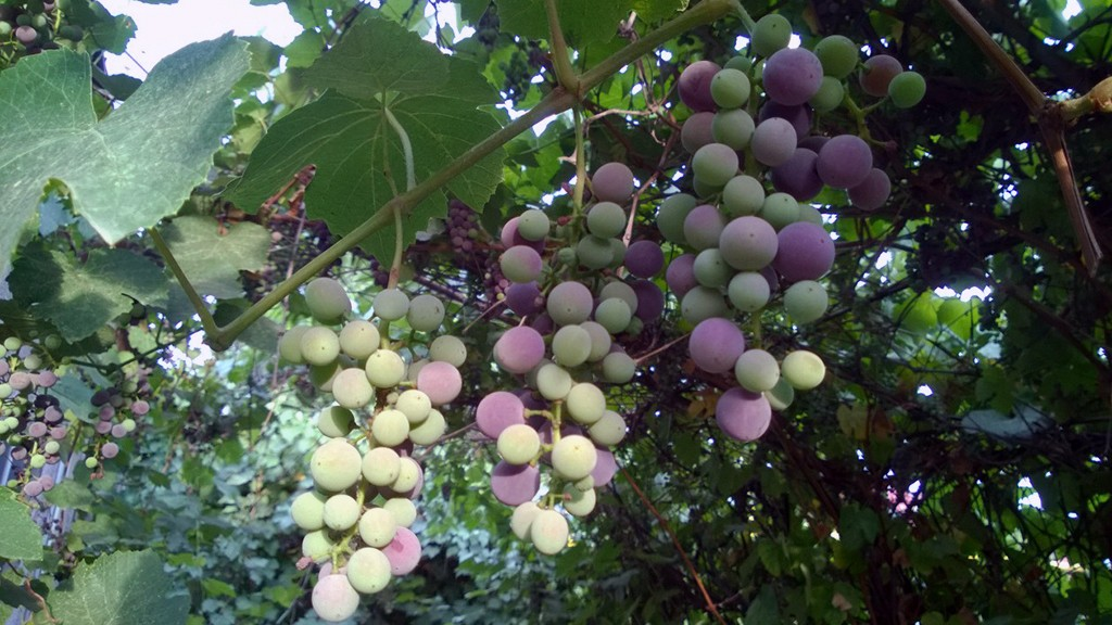 Под действием солнечных лучей кожица самых крупных ягод стала темнеть.