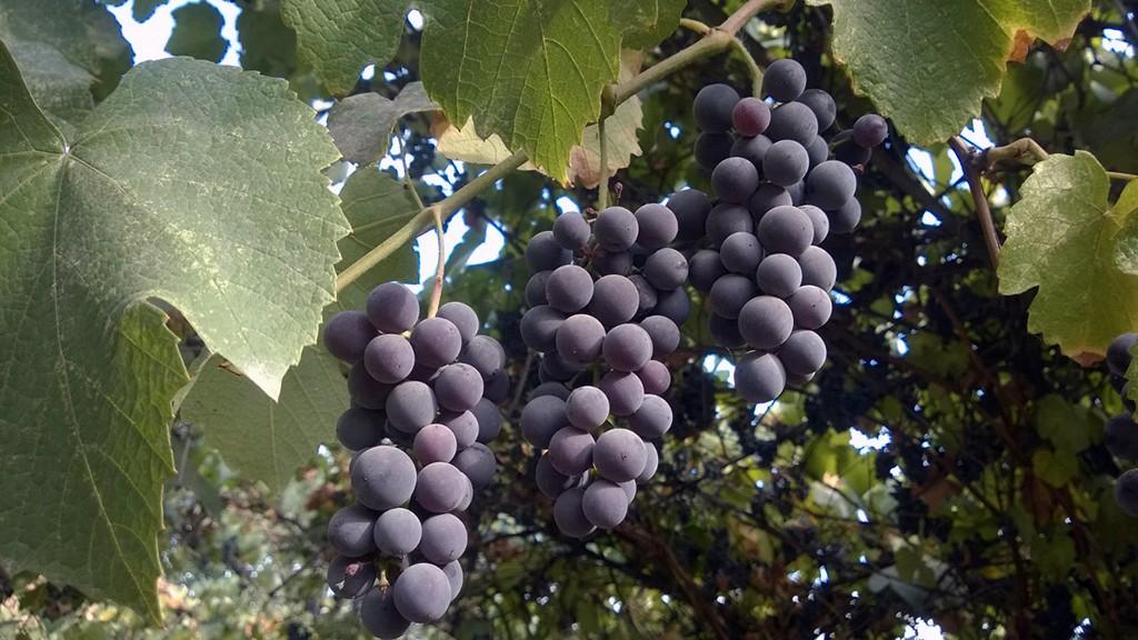 Созревшие ягоды сформировали плотные и крепкие гроздья.