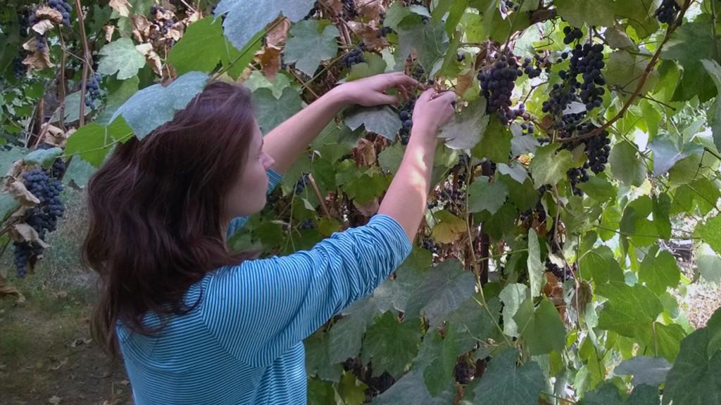 А мне помогала жена, ибо женские руки при сборе урожая кстати.